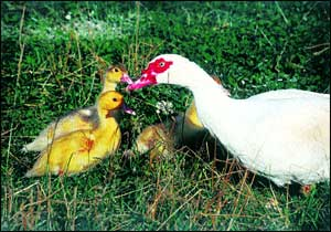 Muscovy Ducks Perfect For The Small Farmer Community