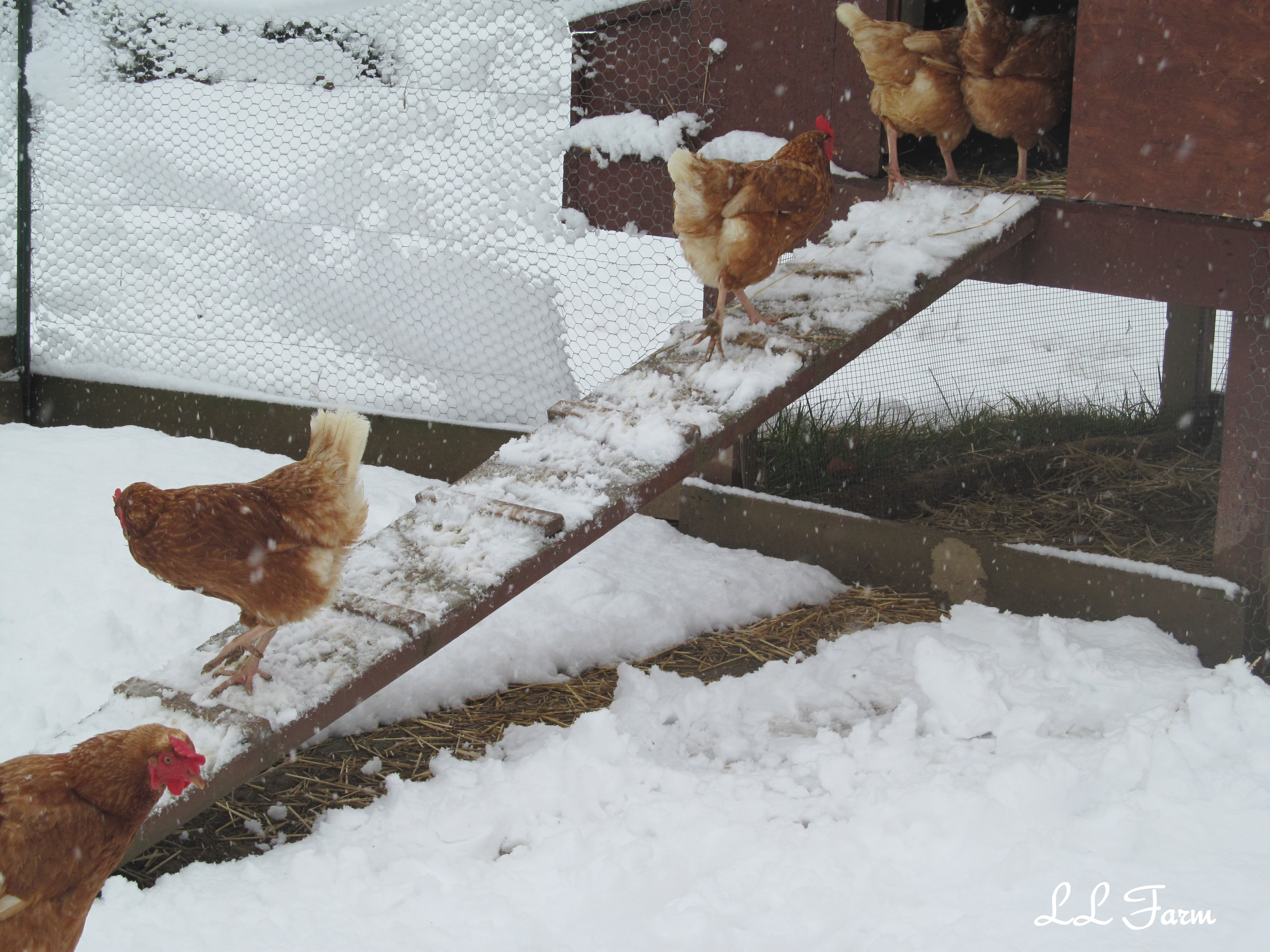 Keeping chickens through the winter | Community Chickens