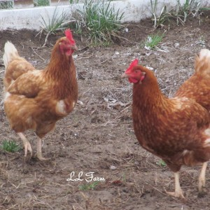 chickens, resized and marked