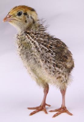 Sexing japanese quail