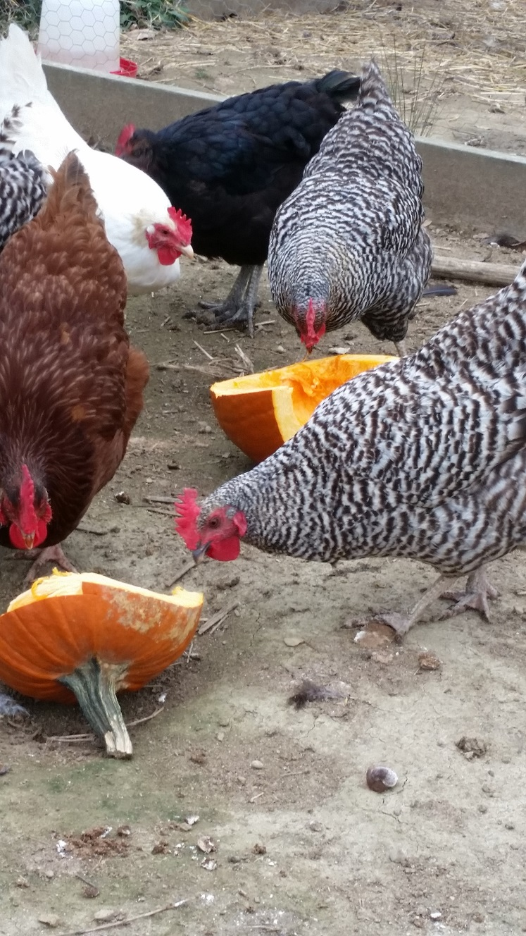 Can chickens eat pumpkin community chickens for Can ducks and chickens share a coop