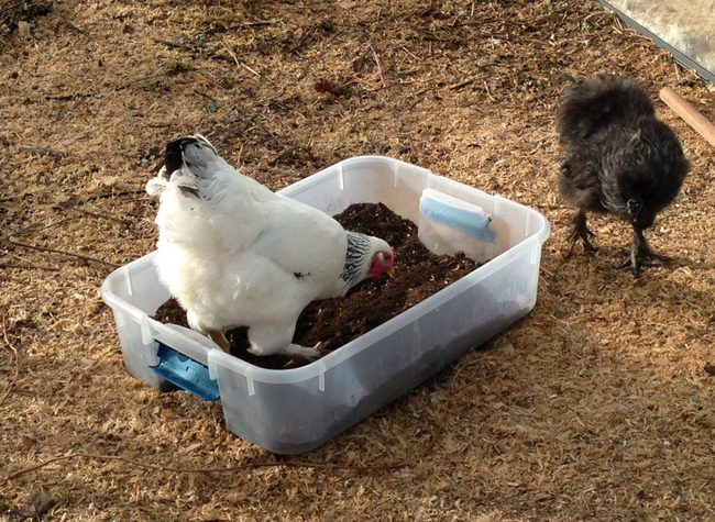 Create an all-weather dust bath that your chickens can use even when the ground is frozen or covered in snow!