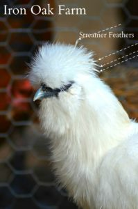 Sexing Silkies   Community Chickens