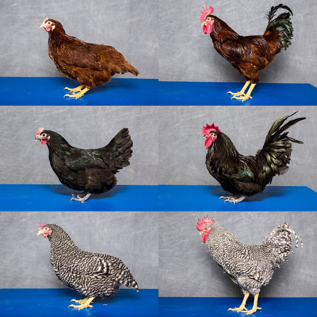 Profile pictures of three different chicken breeds, male and female