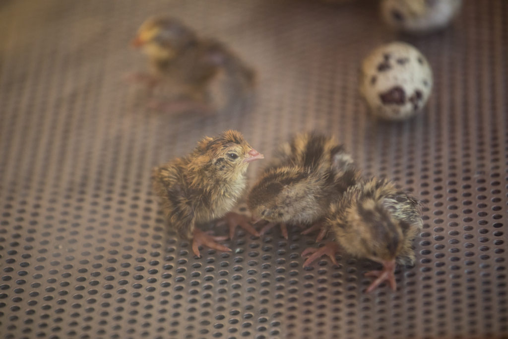 quarter-sized brown striped baby quail on pierced metal grate incubator floor