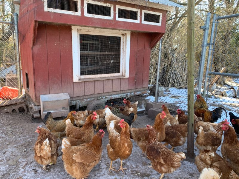Uncle Sam and the Government's View on Poultry