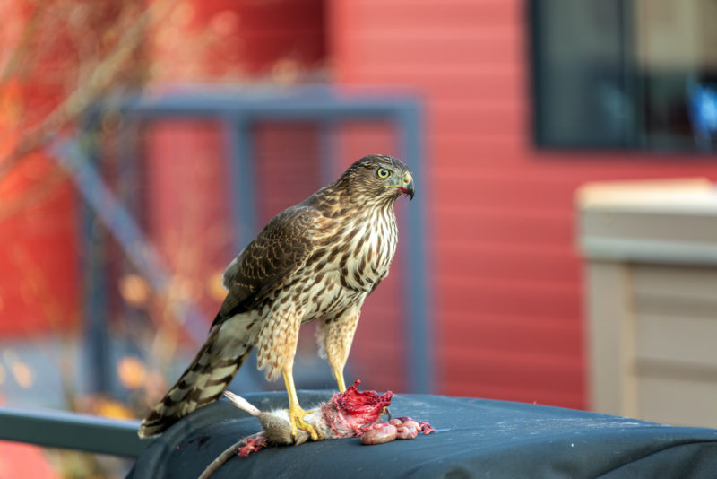 coopers hawk on barbeque lid eating a rat